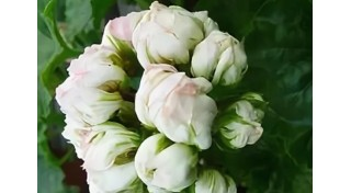 Розоцветные пеларгонии