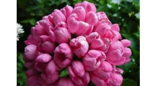 Тюльпановидные пеларгонии
